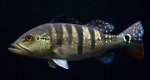 Hình ảnh Cá Hoàng Bảo Yến Azul khi trưởng thành