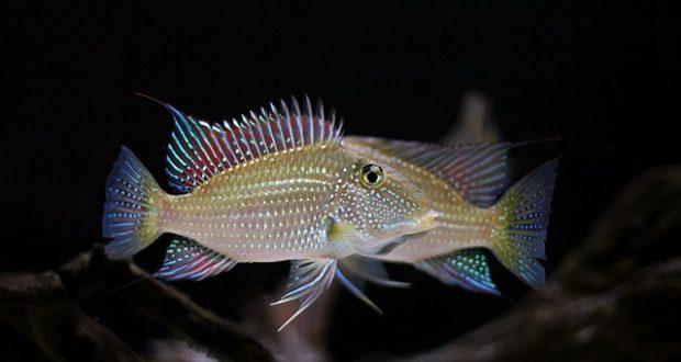Hình ảnh Cá Hải Hồ Ngọc Trai - Satanoperca cf. leucostica