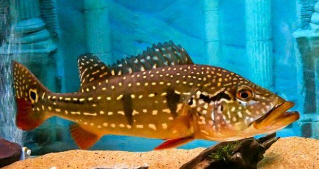 Hình ảnh Cá Hoàng Bảo Yến Temensis trưởng thành
