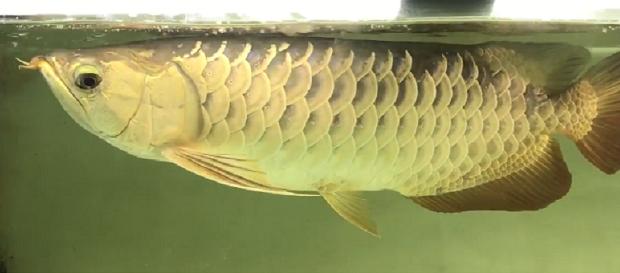 Hình ảnh Cá rồng Quá Bối 24k9999 50cm