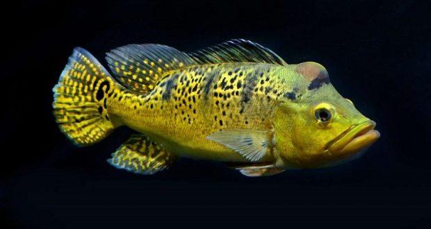 Hình ảnh Cá Hoàng Bảo Yến Kelberi trưởng thành