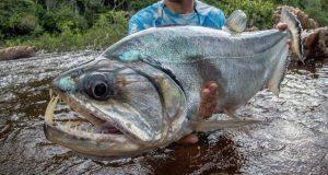 Hình ảnh Cá Mè Nanh Sói trưởng thành