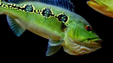 Hình ảnh Cá Hoàng Bảo Yến Orino trưởng thành