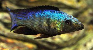 Hình ảnh Cá Ali Báo Tuyết trưởng thành
