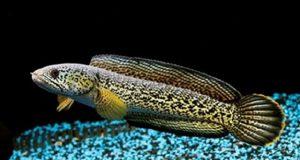 Hình ảnh cá Lóc Nữ Hoàng