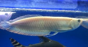 Hình ảnh Ngân Long Albino 30cm
