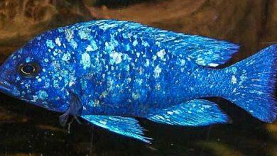 "Photo of Cá Ali Lam Bảo Thạch – Placidochromis Phenochilus ""Tanzania"" 5-6cm mở bán 21/10/2018"