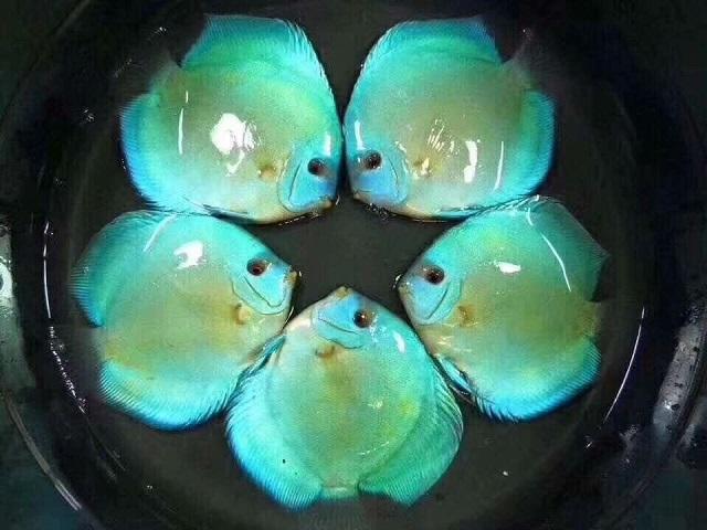 Hình ảnh Cá Đĩa Lam