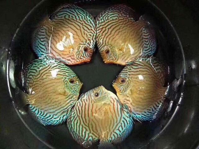 Hình ảnh Cá Đĩa Bông Xanh