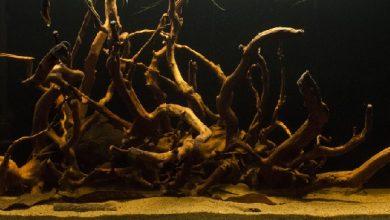 Photo of Xử lý gỗ lũa phai màu ra nước bể cá
