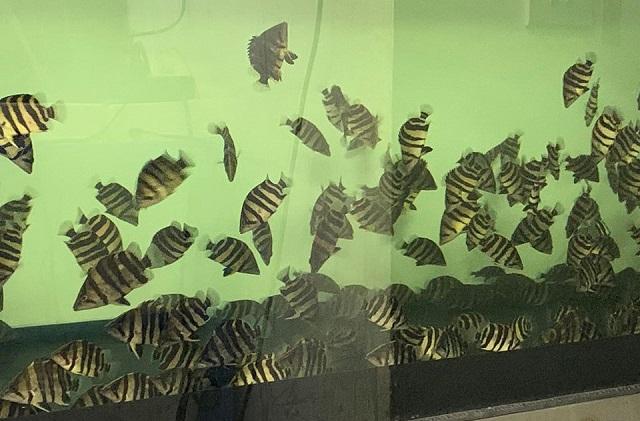 Hình ảnh Lô cá Hổ Indo Sumatera đã dưỡng khỏe mạnh