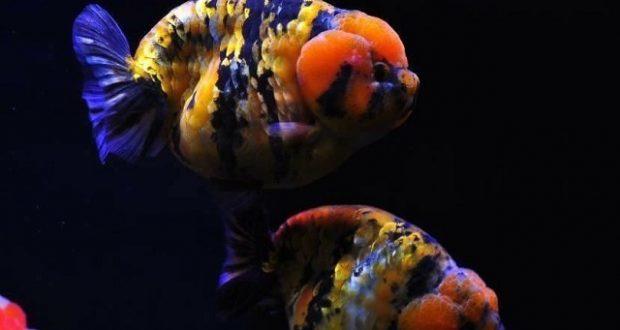 Hình ảnh minh họa Cá Vàng Ranchu rất được ưa chuộng