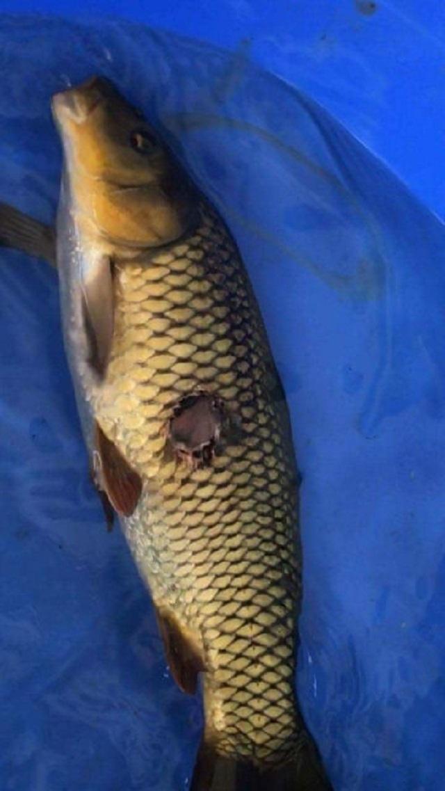 Hình ảnh Nếu cá quá to bạn cần gây mê cho cá