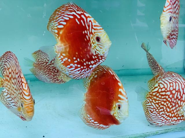 Hình ảnh Cá Khoẻ sung - màu sắc cực tốt