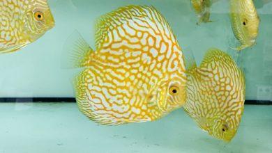 Hình ảnh Cá Đĩa Bồ Câu Vàng với chất lượng xuất khẩu
