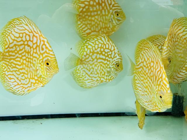 Hình ảnh Một trong những sắc màu không thể thiếu nếu bạn là người đam mê cá Đĩa